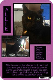 Domestic Shorthair Cat for adoption in CLEVELAND, Ohio - Allie