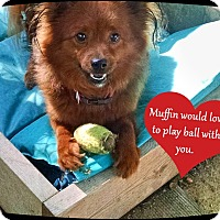 Adopt A Pet :: Muffin- - Franklinton, NC