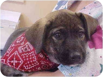 Husky/Boxer Mix Puppy for adoption in Burnsville, North Carolina - Lady