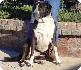 Labrador Retriever/Australian Cattle Dog Mix Dog for adoption in Lathrop, California - Allie