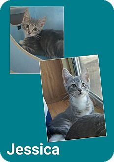 Domestic Shorthair Cat for adoption in North Richland Hills, Texas - Jessica