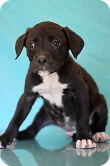 Labrador Retriever Mix Puppy for adoption in Waldorf, Maryland - Doug