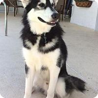 Adopt A Pet :: Riot - Clearwater, FL