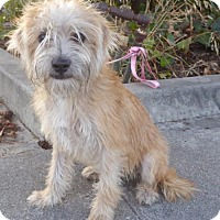 Terrier (Unknown Type, Medium)/Poodle (Miniature) Mix Puppy for adoption in Seattle, Washington - Honey BB
