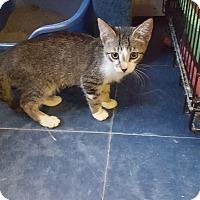Domestic Shorthair Kitten for adoption in Phoenix, Arizona - SHEA&STAN