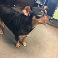 Adopt A Pet :: A030999 - Norman, OK