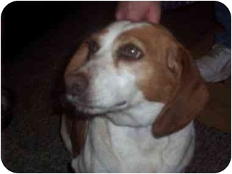 Beagle Dog for adoption in Ventnor City, New Jersey - FUNNY FACE
