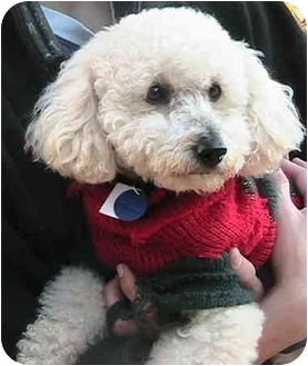 Poodle (Miniature) Dog for adoption in Poway, California - Elvis