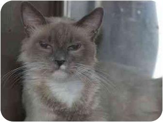 Ragdoll Cat for adoption in Davis, California - Blue Pt Ragdoll