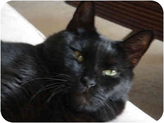 Domestic Shorthair Cat for adoption in Little Falls, New Jersey - Duke (CK)