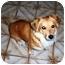 Photo 1 - Sheltie, Shetland Sheepdog/Dachshund Mix Dog for adoption in La Habra, California - Riley