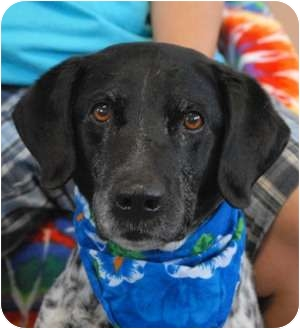 German Shorthaired Pointer Dog for adoption in Las Vegas, Nevada - Zorro