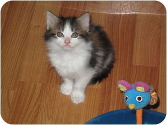Domestic Longhair Kitten for adoption in Port Republic, Maryland - Baby Willow