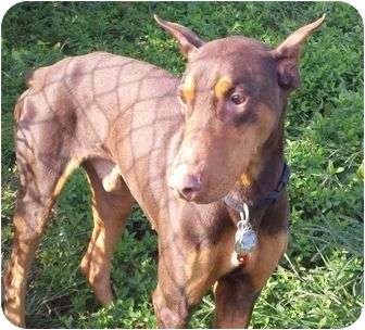 Doberman Pinscher Dog for adoption in New Richmond, Ohio - Roscoe--adopted!!