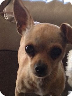 Chihuahua Dog for adoption in San Marcos, California - Puff