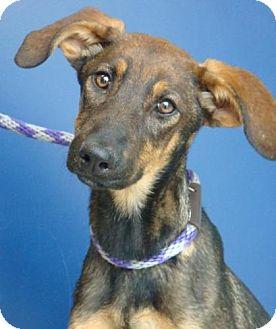 Doberman Pinscher/German Shepherd Dog Mix Puppy for adoption in Red Bluff, California - Lucy Lulu