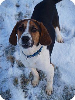 Beagle/Basset Hound Mix Puppy for adoption in Toronto/Etobicoke/GTA, Ontario - Charger