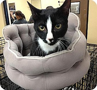 Domestic Shorthair Cat for adoption in Atlanta, Georgia - Bailey