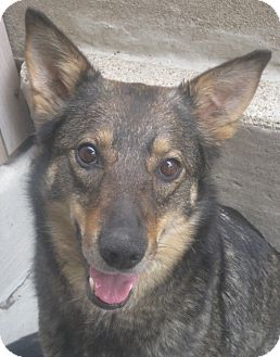 German Shepherd Dog/Shepherd (Unknown Type) Mix Dog for adoption in Chicago, Illinois - Ella (PENDING!!)