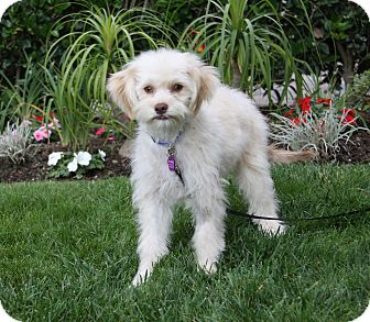 Maltese/Poodle (Miniature) Mix Puppy for adoption in Newport Beach, California - DEVON
