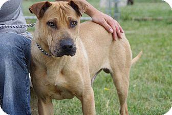 Labrador Retriever/Shar Pei Mix Dog for adoption in Elyria, Ohio - Colby-Prison Graduate