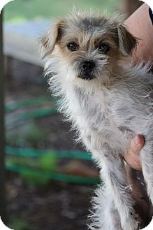 Terrier (Unknown Type, Small) Mix Dog for adoption in Snyder, Texas - Ginger