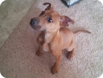 Boxer/Feist Mix Puppy for adoption in CHAMPAIGN, Illinois - Ted