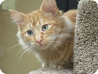 Domestic Longhair Cat for adoption in San Leandro, California - Scarlet