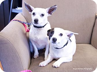 Chihuahua/Jack Russell Terrier Mix Dog for adoption in Chattanooga, Tennessee - Ellie & Ava