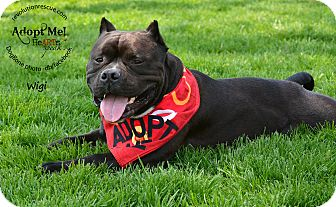 American Staffordshire Terrier Dog for adoption in Lincoln, Nebraska - Wigi