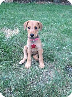 Airedale Terrier Mix Puppy for adoption in Hainesville, Illinois - Olive