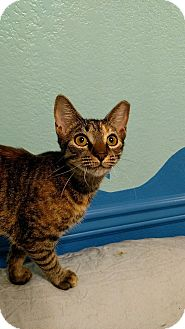 Domestic Shorthair Kitten for adoption in Tampa, Florida - Feta
