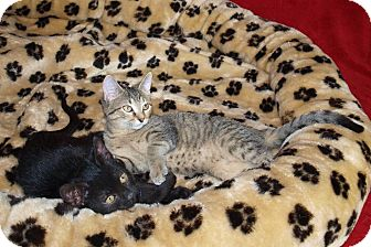 Domestic Shorthair Kitten for adoption in Jackson, Mississippi - Thelma & Louise