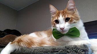 Domestic Mediumhair Kitten for adoption in Riverside, California - Brandon
