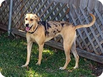 Catahoula Leopard Dog Mix Dog for adoption in Austin, Texas - Sprinkles