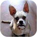 French Bulldog Mix Dog for adoption in Pittsboro/Durham, North Carolina - REFERRAL - Yoda