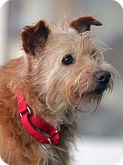 Australian Terrier Mix Dog for adoption in Berkeley, California - Rusty