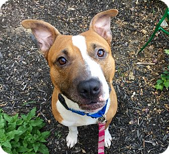 Terrier (Unknown Type, Medium) Mix Dog for adoption in Wilmington, Delaware - Roger