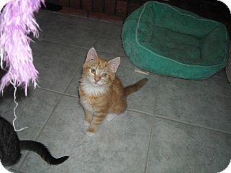 Domestic Shorthair Kitten for adoption in Riverside, Rhode Island - Ava