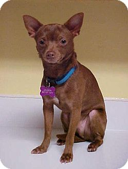 Miniature Pinscher/Chihuahua Mix Dog for adoption in Dahlgren, Virginia - Buster Brown- 8 lbs
