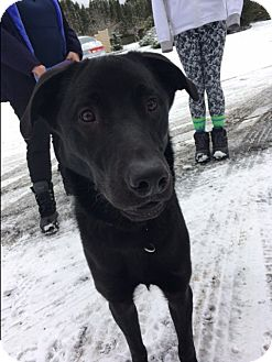 Labrador Retriever Mix Dog for adoption in Bellingham, Washington - Damien