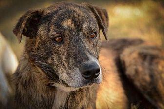 Labrador Retriever/Mountain Cur Mix Dog for adoption in Olympia, Washington - Valentine W