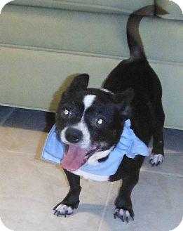 Chihuahua/Boston Terrier Mix Dog for adoption in Chapel Hill, North Carolina - Banjo