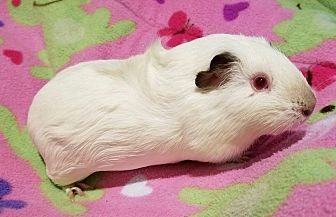 Guinea Pig for adoption in South Bend, Indiana - Stella
