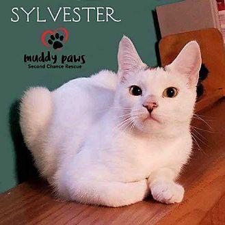 Domestic Mediumhair Kitten for adoption in Council Bluffs, Iowa - Sylvester