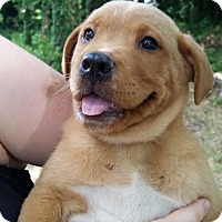 Labrador Retriever/Retriever (Unknown Type) Mix Puppy for adoption in Manchester, New Hampshire - Cody