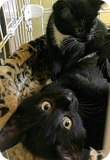 Domestic Shorthair Kitten for adoption in Randolph, New Jersey - J.B. and Quinn - so sweet