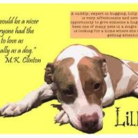 Adopt A Pet :: Lilly - Jamestown, NY