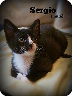 Domestic Shorthair Kitten for adoption in Glen Mills, Pennsylvania - Sergio