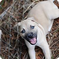 Adopt A Pet :: Baylee $250 - Seneca, SC